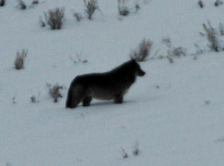 Far Wolf
